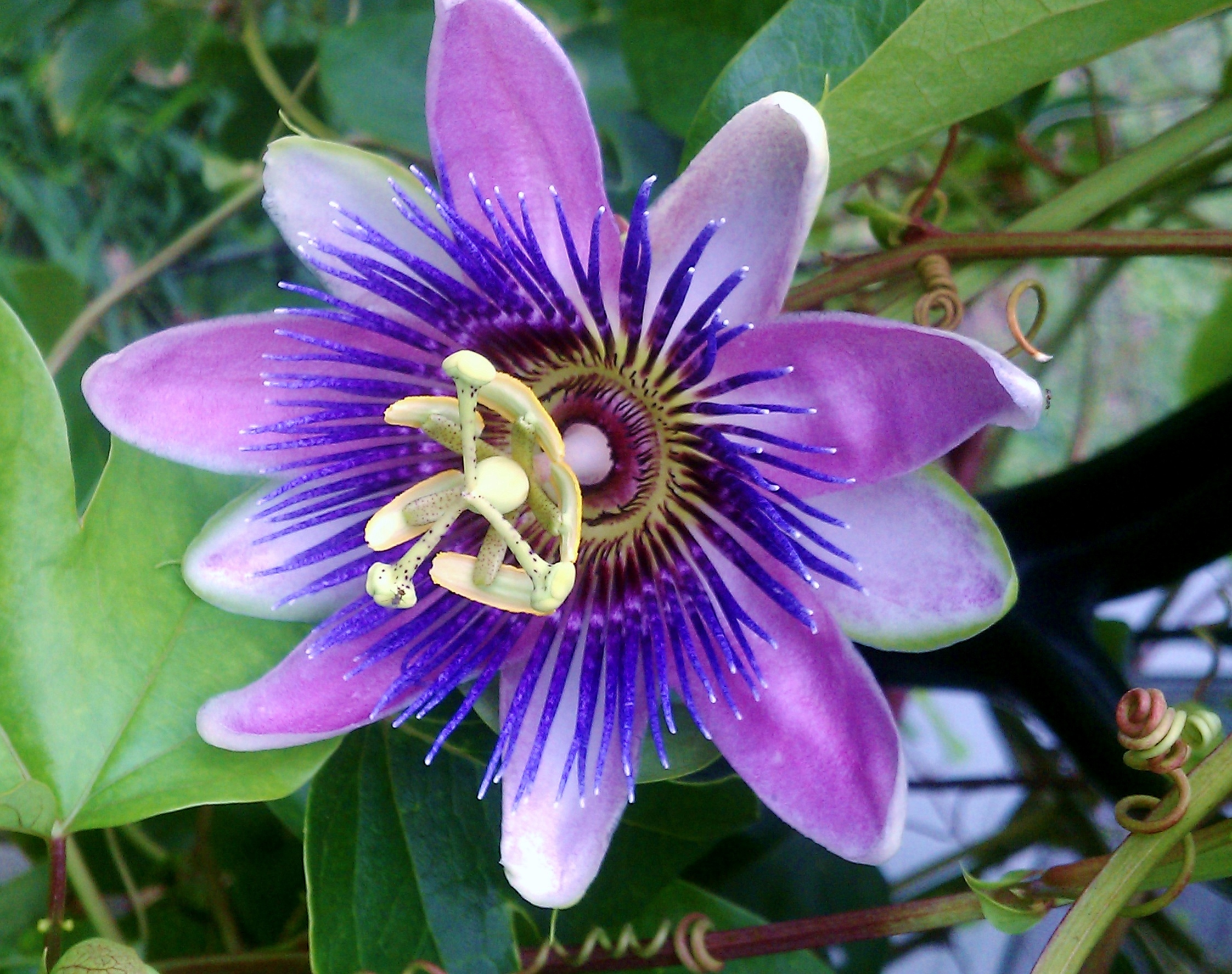 Passion Flowers 2