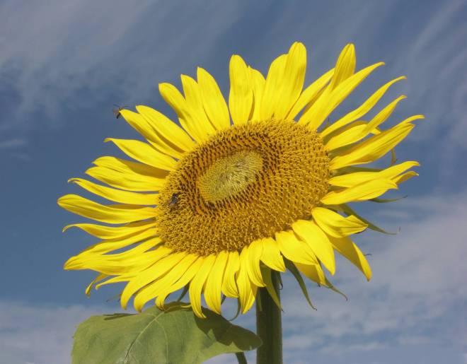 Sunflowerbee1