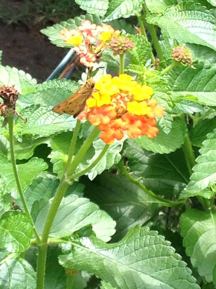 Lantana and Butterfly