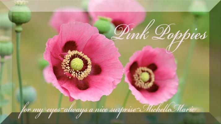 pinkpoppies