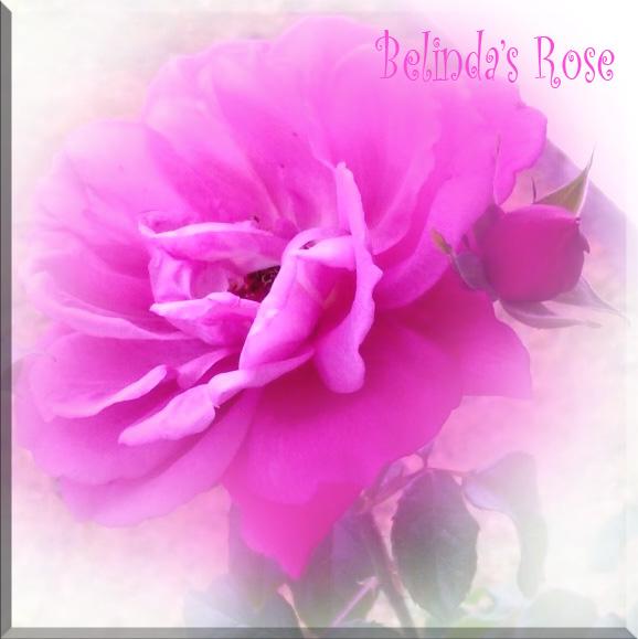 Belinda'srose