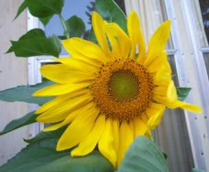 pretty-sunflower