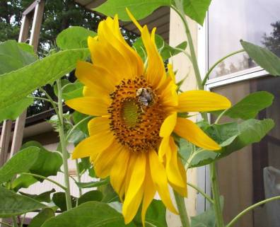 Bee Sunflower natural